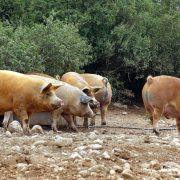 Cultura Gastronómica| Cerdo duroc